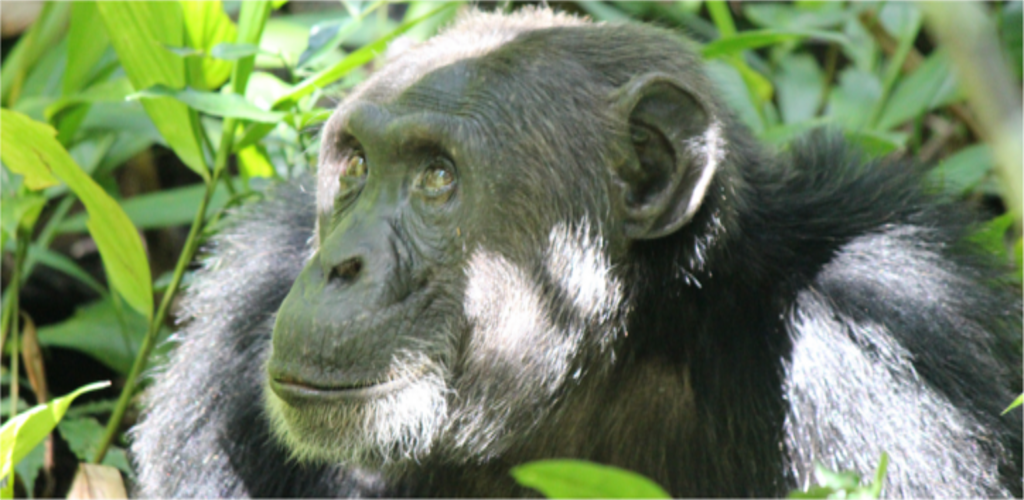 Primates of Africa - Uganda and Rwanda Safari
