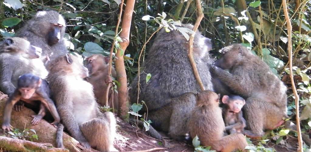 Rwanda safari - primates
